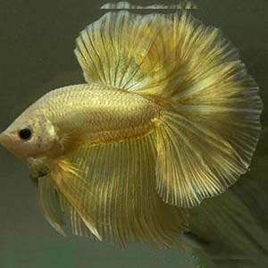 Gold Breeding Pair Betta Fish