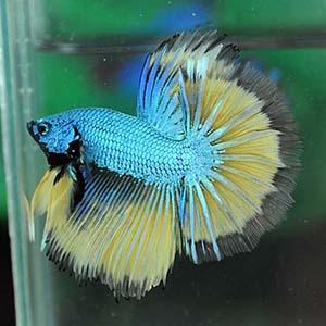 Mustard Dragon Betta Fish