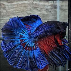 Peacock Blue Betta Fish