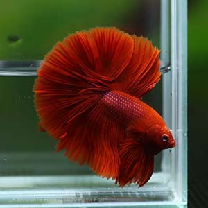 Full Red/Super Red Breeding Pair Betta Fish