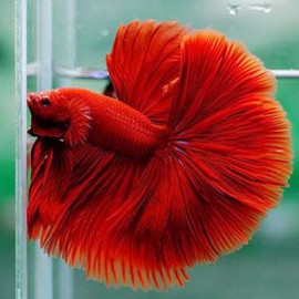 Super RED RoseTail by www.aquastore.in