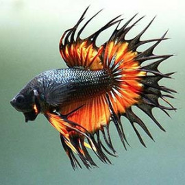 Mustard Gas CrownTail by www.aquastore.in