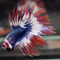 Thai Flag Crowntail Betta Fish