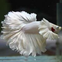 White Platinum Dumbo Betta Fish