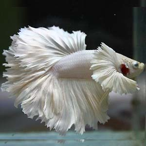 WHITE PLATINUM DUMBO by www.aquastore.in