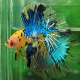 KOI GALAXY HALFMOON by www.aquastore.in