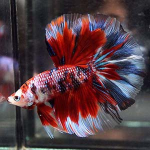 Koi Galaxy Halfmoon Butterfly Betta Fish