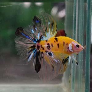 Yellow Koi Galaxy Halfmoon Betta Fish