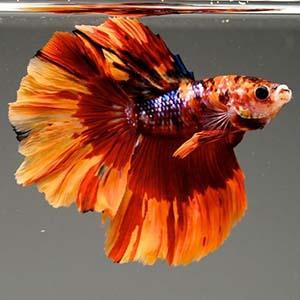 NEMO CANDY GALAXY HALFMOON by www.aquastore.in