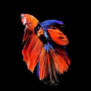 Nemo Galaxy Halfmoon Betta Fish
