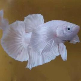Female Betta - Dumbo Ear Milky White