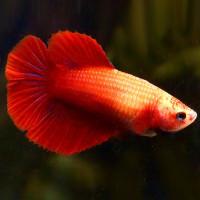 Female Betta - Full Red