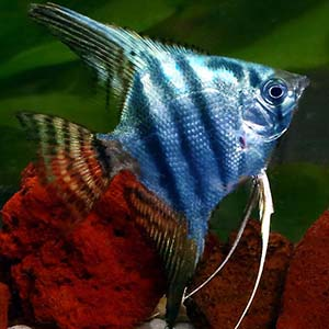 Blue Zebra Angel Fish