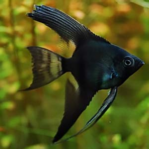 Jetblack Angel Fish