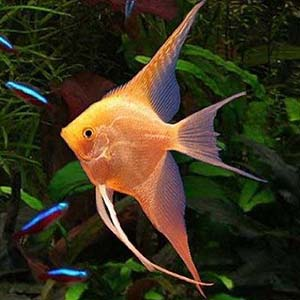 Golden Angel Fish