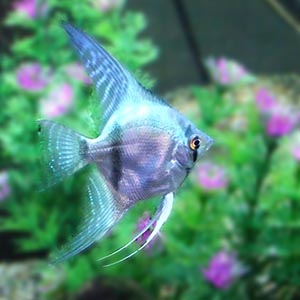 Philipines Blue Angel Fish