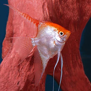 Red Top Angel Fish