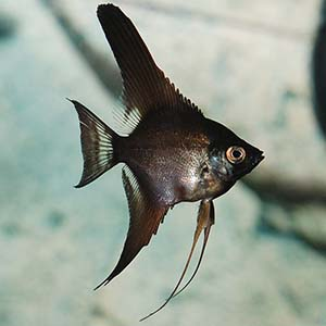Z Black Angel Fish