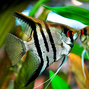 Zebra Angel Fish