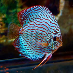Blue Turquoise Discus Fish Breeding Pair