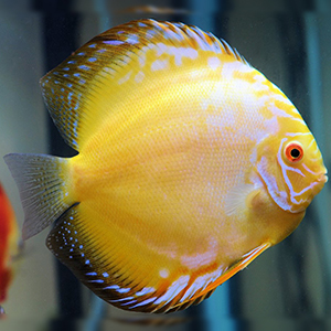 Yellow Crystal Discus Fish