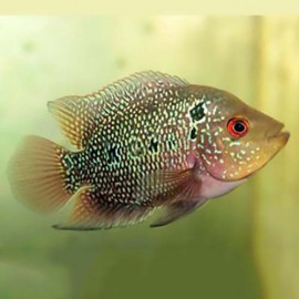 FlowerHorn by www.aquastore.in