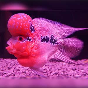 Flowerhorn Short Body Fish