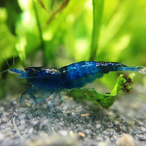 Carbon Blue Fresh Water Shrimp