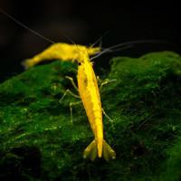 Golden Back Yellow Fresh Water Shrimp Fish