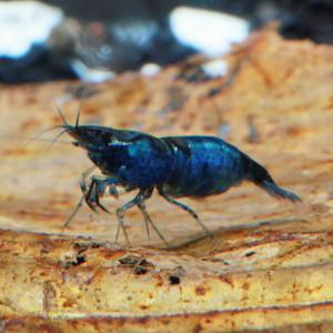 Blue Diamond Fresh Water Shrimp
