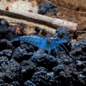 Blue Velvet Fresh Water Shrimp