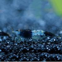 Carbon Rilli Fresh Water Shrimp