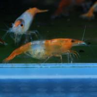Orange Rilli Fresh Water Shrimp