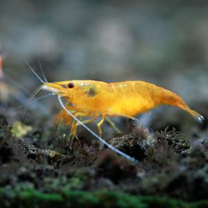 Orange Sunkist Fresh Water Shrimp