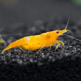 Yellow Sakura Freshwater Shrimp -5 by www.aquastore.in