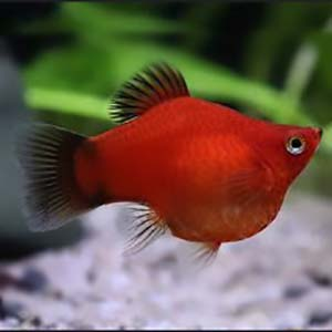 Balloon Red Platy Fish