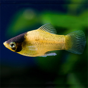 Bumble Bee Platy Fish