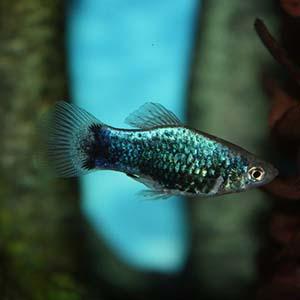 Green Lantern Platy Fish