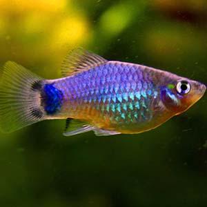 Micky Mouse Platy Fish