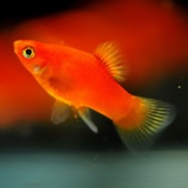 Red Platy – 1 Pair by www.aquastore.in