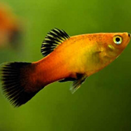Sunset Platy – 1 Pair by www.aquastore.in