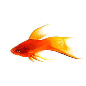 Sword Tail Platy – 1 Pair by www.aquastore.in