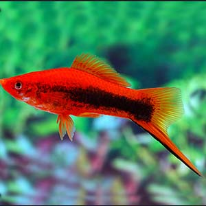 Texido Sword Tail Platy Fish