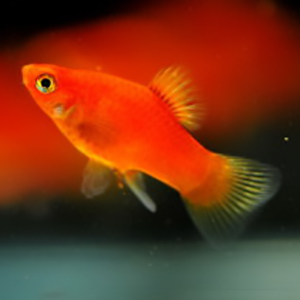 Red Platy – 1 Pair