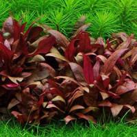 Alternanthera Reineckii Mini Live Aquarium Plant