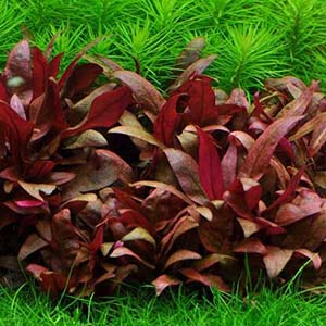 Alternanthera Reineckii Mini Live Aquarium Plant