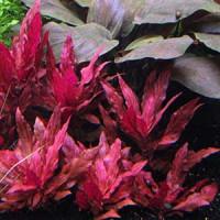 Alternanthera Reineckii Varigated Live Aquarium Plant