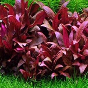 Alternanthera Sp Burgundy Live Aquarium Plant
