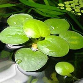 Amazon Frogbit by www.aquastore.in