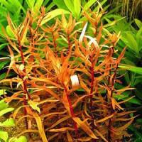 Ammania Senegalensis Live Aquarium Plant
